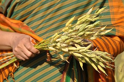 indian_woman_wheat