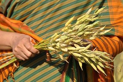 indian_woman_wheat
